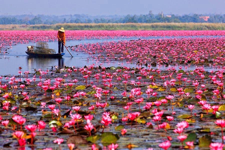 El mar de loto rojo en Udon Thani