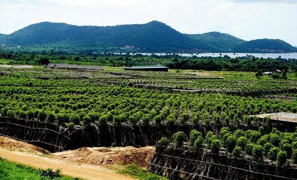 Plantaciones de pimienta